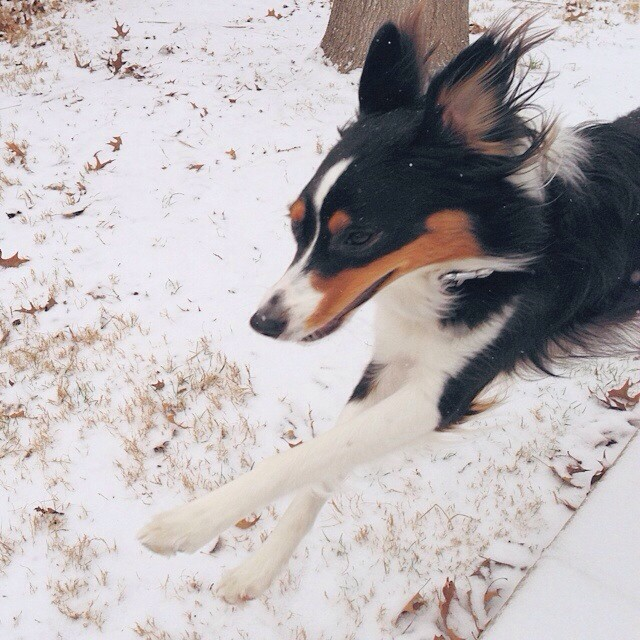 This one is happy about the snow. #friscotx #aussie #vscocam